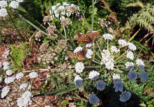 Marsh Fritillaries on Hemlock water dropwort (Oenanthe crocata)