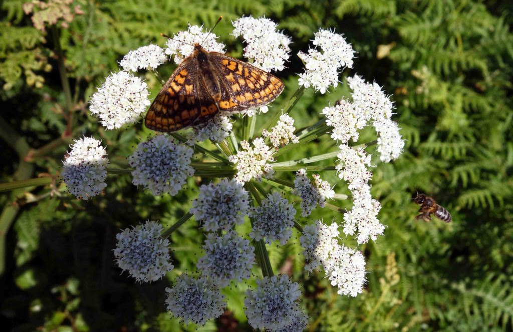 Marsh Fritillary and bee on Hemlock water dropwort (Oenanthe crocata)