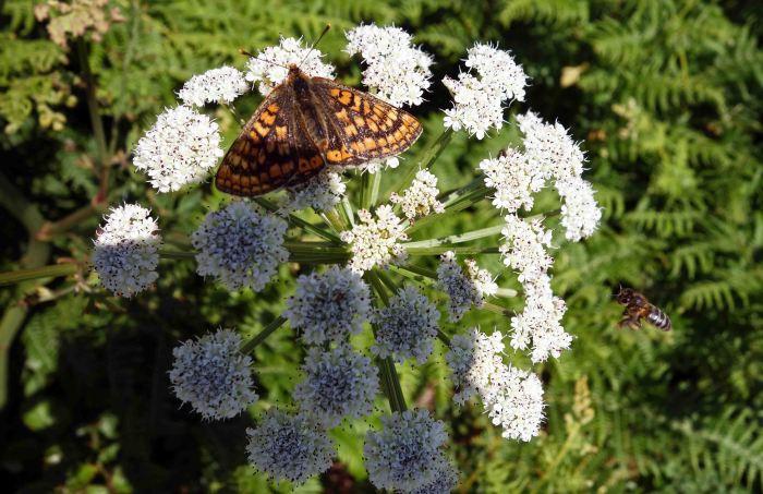 Marsh Fritillary and bee on Hemlock water dropwort (Oenanthe crocata)