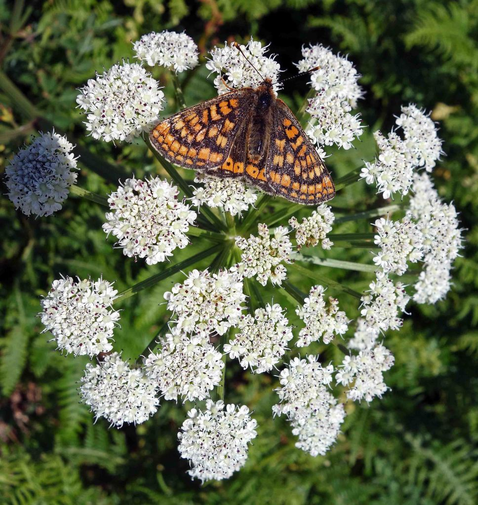 Marsh Fritillary on Hemlock water dropwort (Oenanthe crocata)