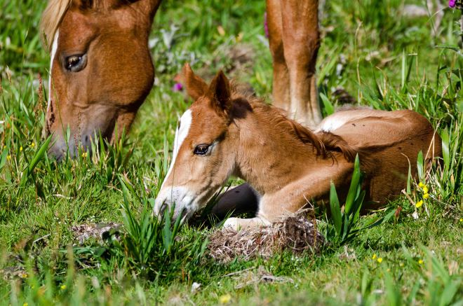 Very young foal (Galician pony)