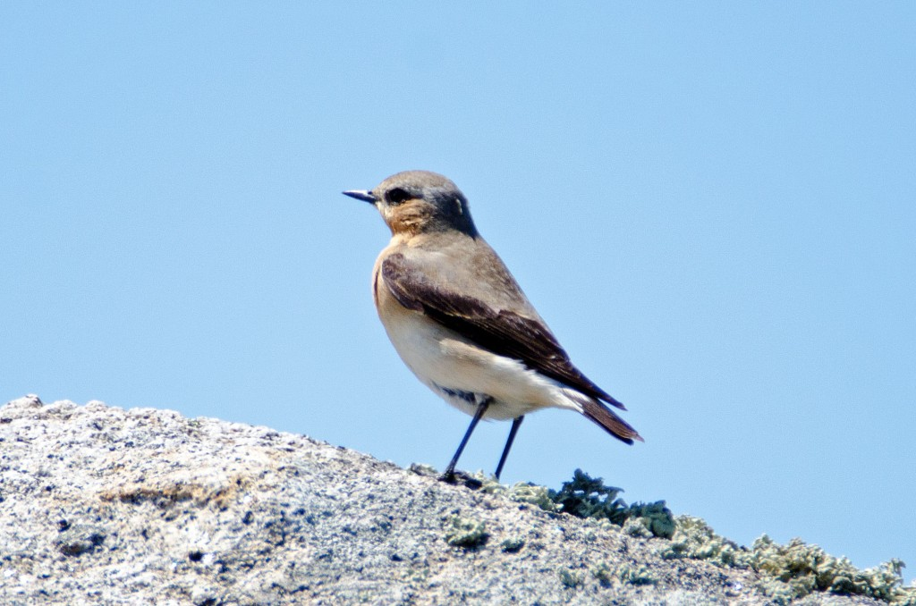 Northern Wheatear (Oenanthe oenanthe) female, Galicia