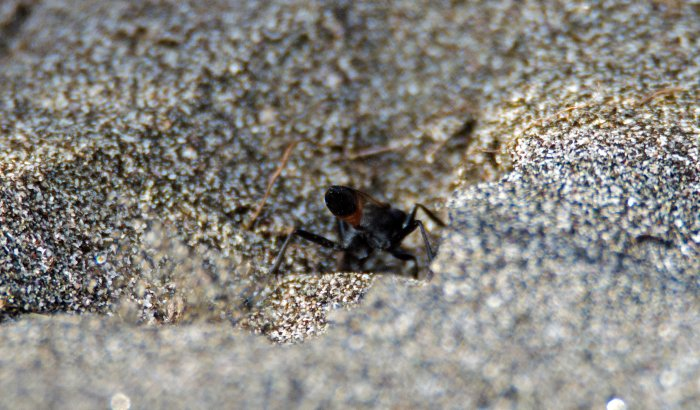 Sand grains thrown up by Hairy sand wasp