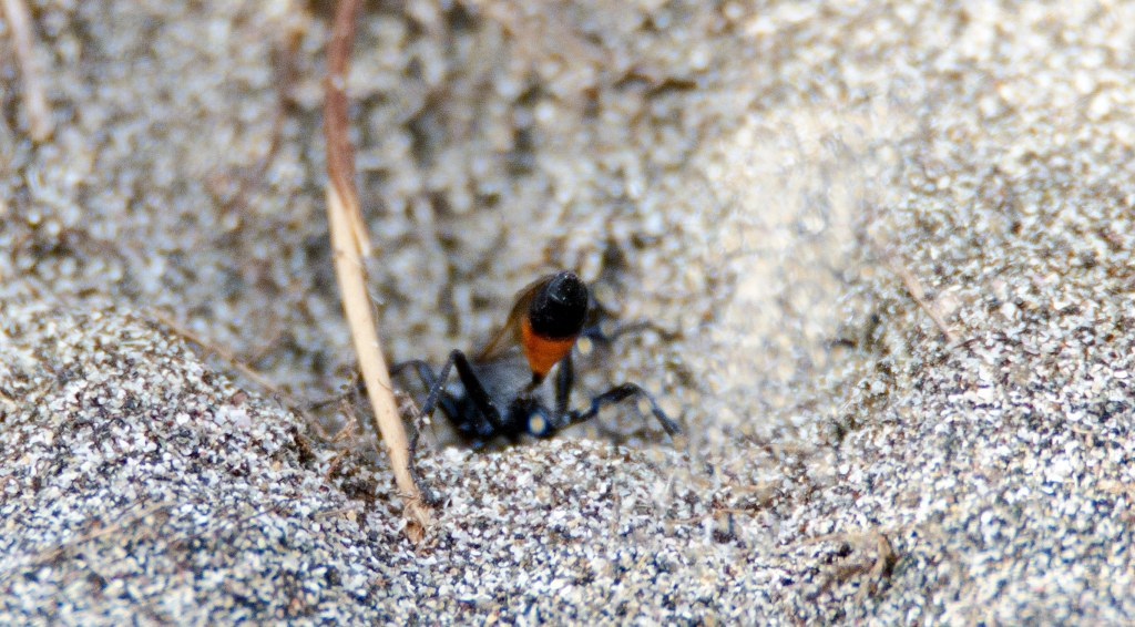 Sand thrown up by the Hairy sand wasp