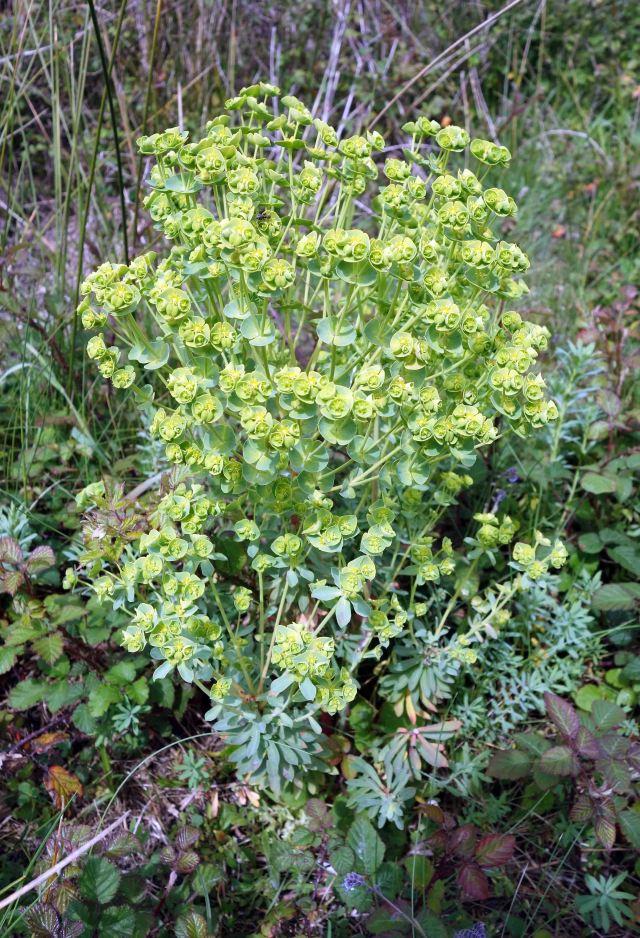Sea Spurge (Euphorbia paralias) flowering in late April in Spain