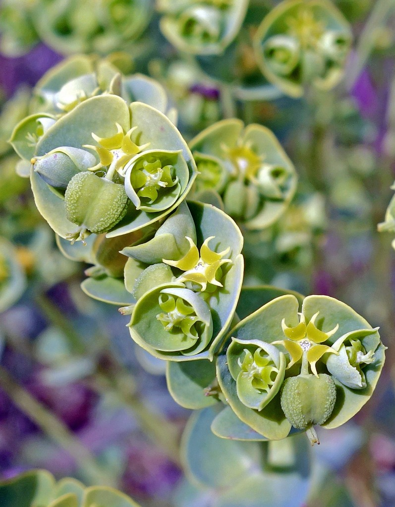 Sea Spurge (Euphorbia paralias) 'flowers' close up