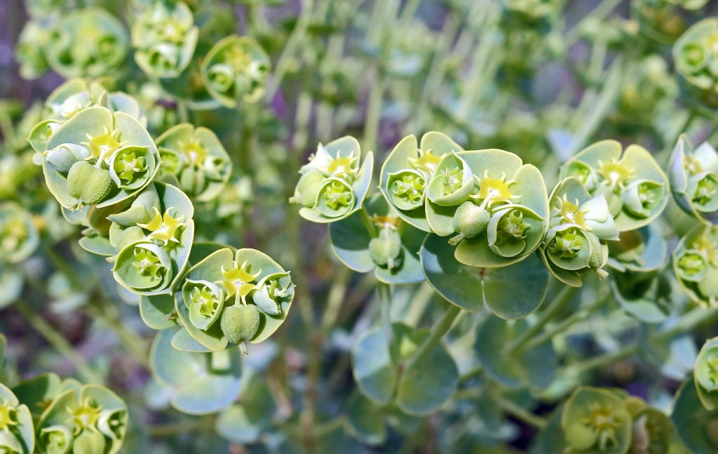 Sea Spurge (Euphorbia paralias) 'flowers'