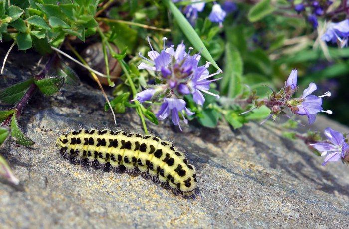 Burnet moth larva