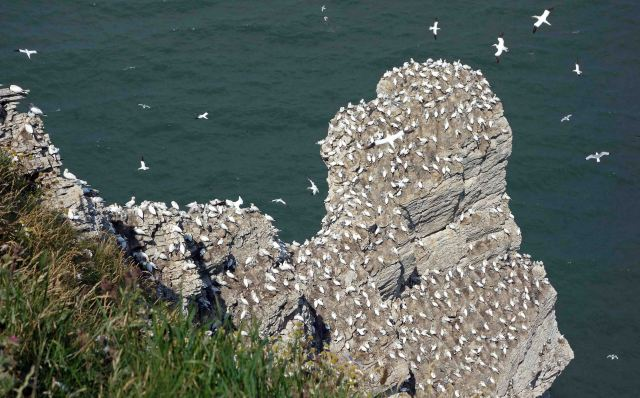 Gannet colony at Bempton