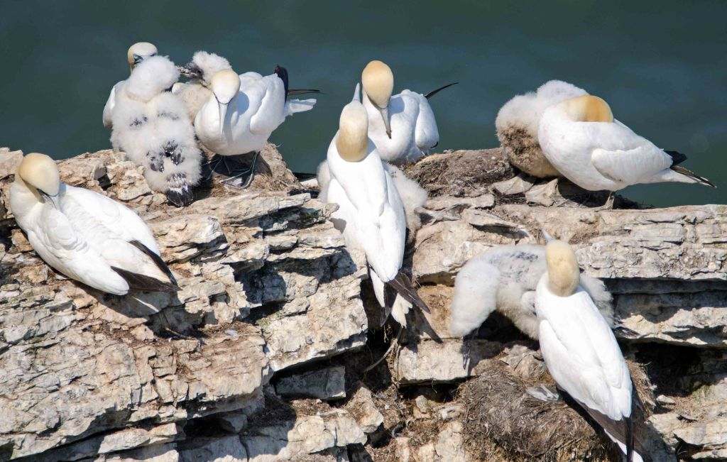Gannets and chicks at Bempton