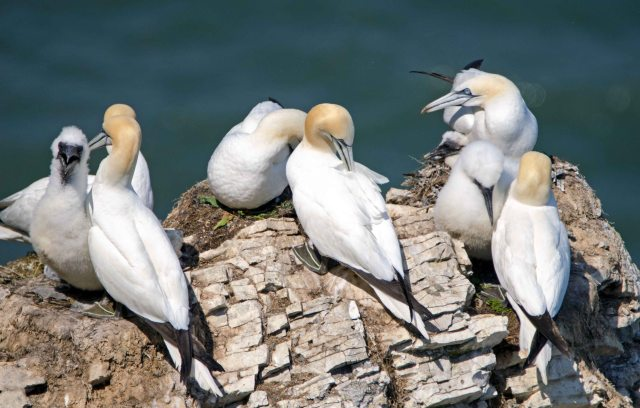 Gannets and chicks at Bempton on 15/07/15