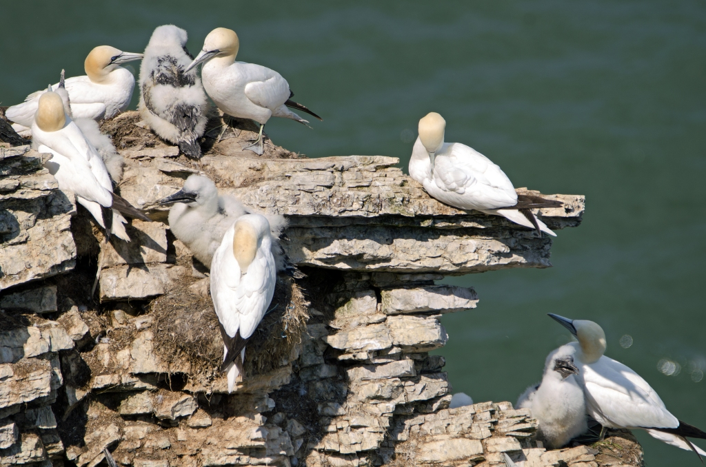Gannets and chicks at Bempton Cliffs on 15/07/15