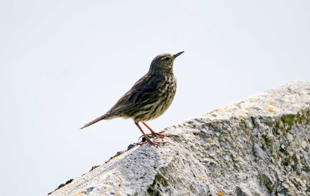 Rock pipit (Anthus petrosus) showing relatively long, dark bill