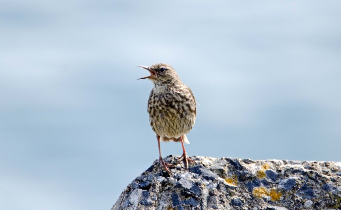 Rock pipit (Anthus petrosus) adult