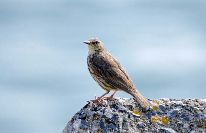 Rock pipit (Anthus petrosus) showing upperside