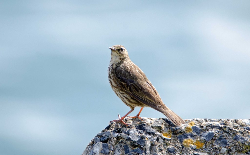 Rock pipit (Anthus petrosus)