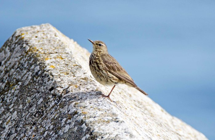 Rock pipit (Anthus petrosus) adult resting on on one leg