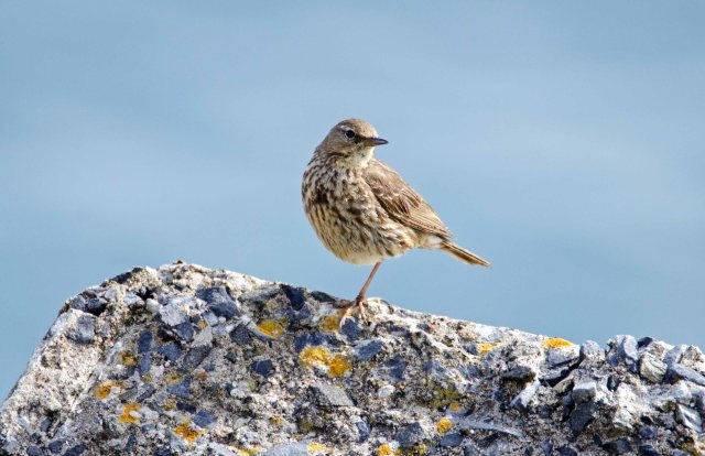 Rock pipit (Anthus petrosus) balanced on one leg