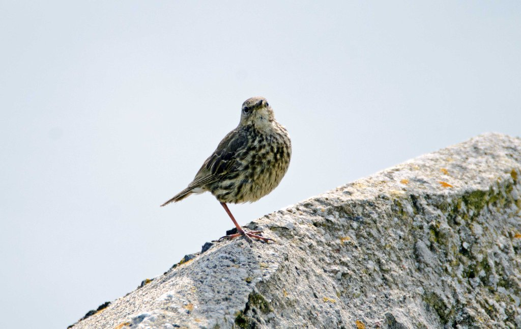 Rock pipit (Anthus petrosus) on one leg