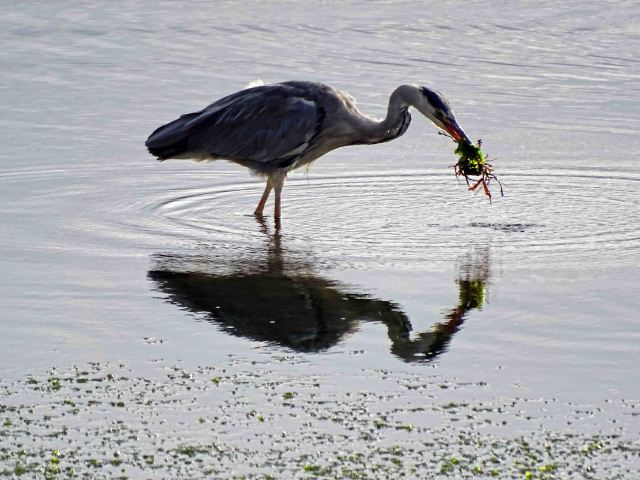 Heron with gunnel