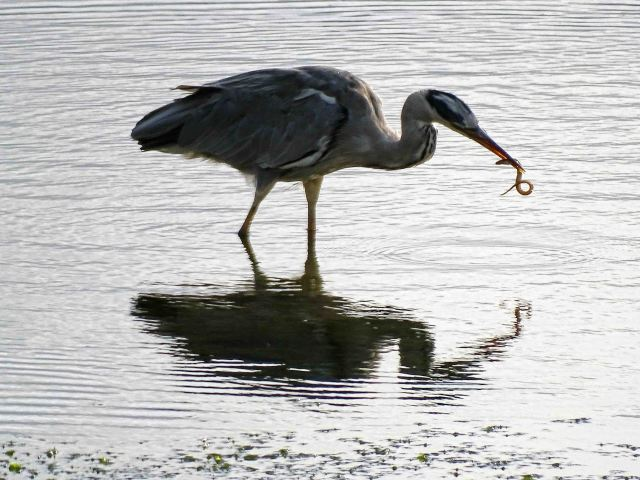 Heron with rock gunnel