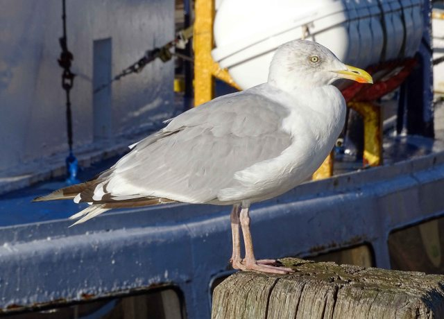 Herring Gull (Larus argentatus) adult Sept