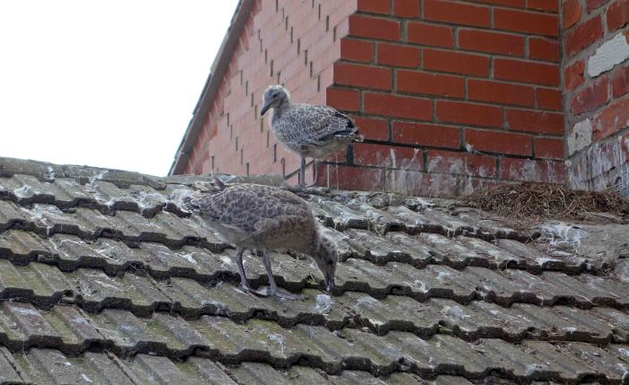 Herring Gull (Larus argentatus) chicks on a roof in July
