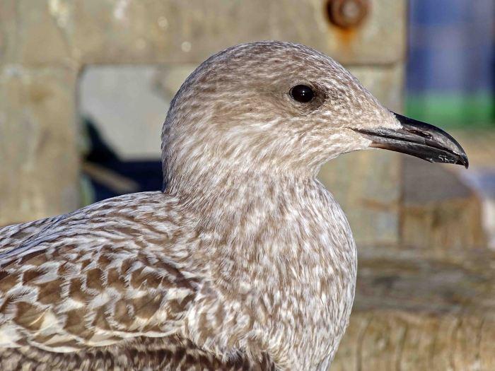 Herring Gull (Larus argentatus) Juvenile Sept; with dark bill