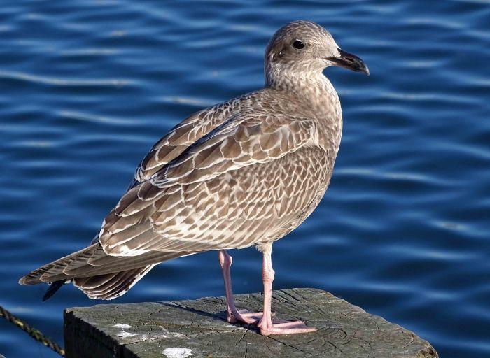 Herring Gull (Larus argentatus) Juvenile Sept