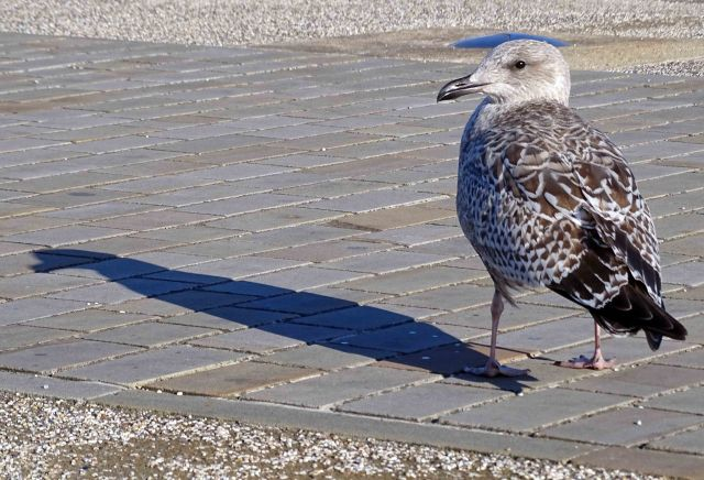Herring Gull (Larus argentatus) Juvenile by the port