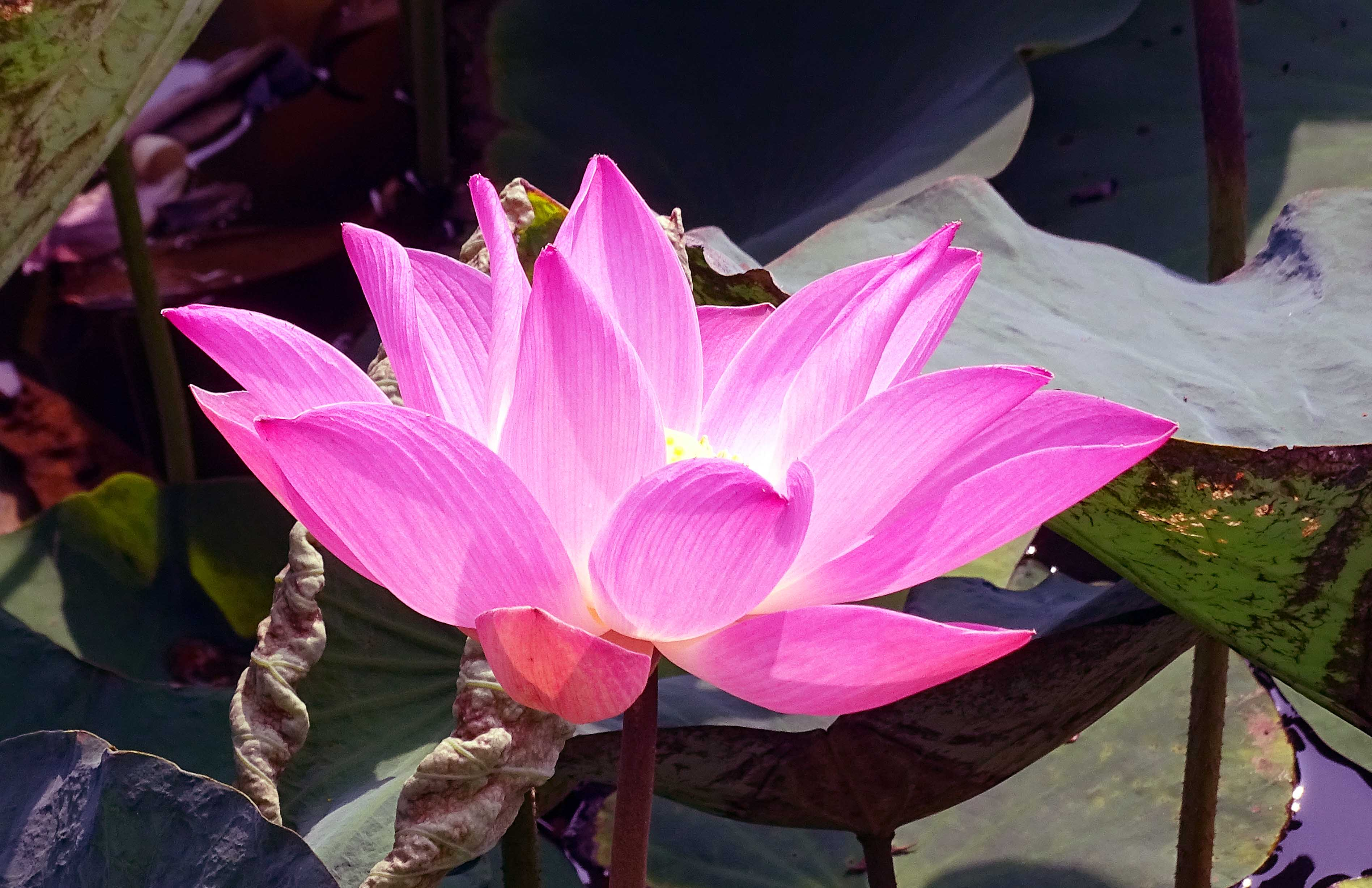 Om Mani Padme Hum The Sacred Lotus Ray Cannons Nature Notes