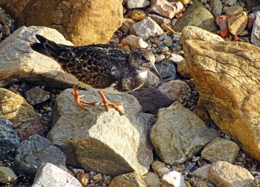 Ruddy turnstone (Arenaria interpres) juvenile