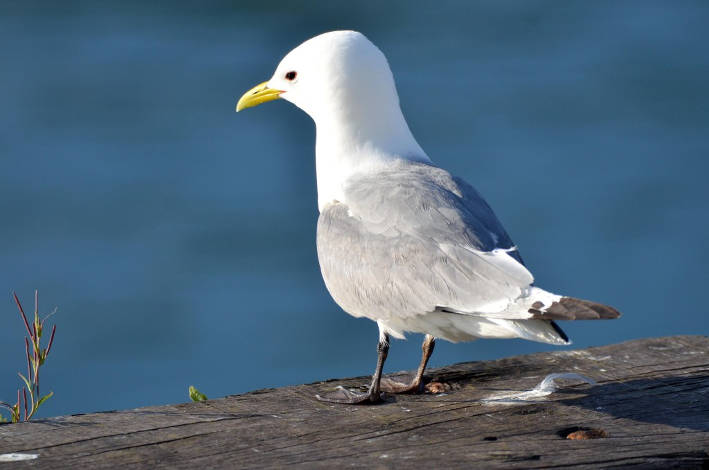 Adult Black-legged kittiwake (Rissa tridactyla), Scarbourgh harbour