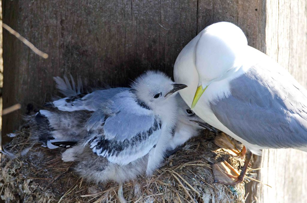 Black-legged kittiwake chicks with one parent bird, Scarborough harbour, 15-07-2015