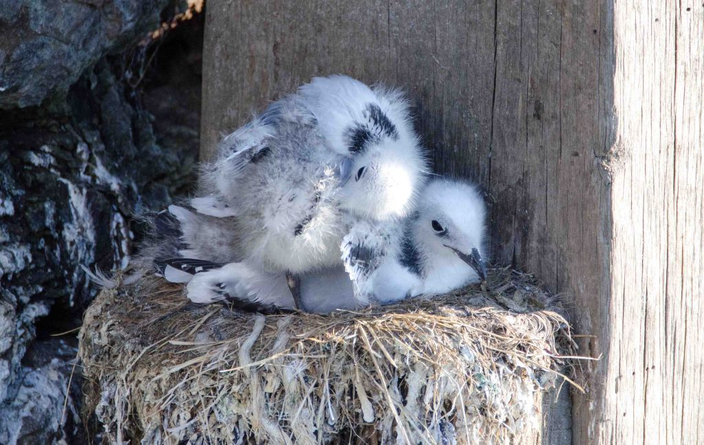 Two Black-legged kittiwake chicks by themselves, Scarborough harbour, on 15-07-2015