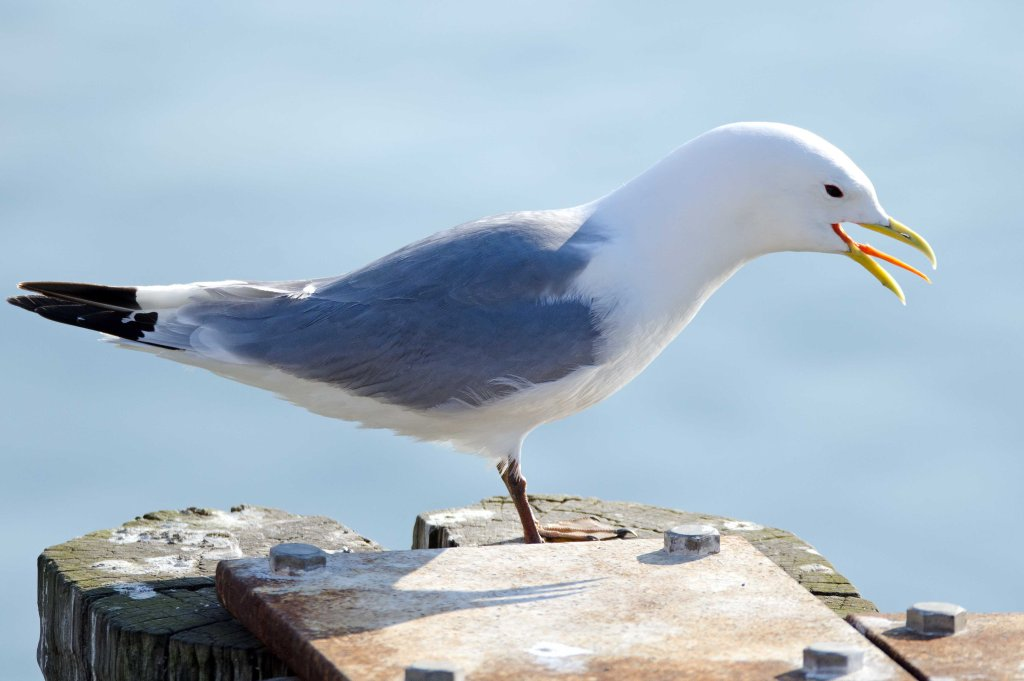 Black-legged kittiwake (Rissa tridactyla), Scarborough