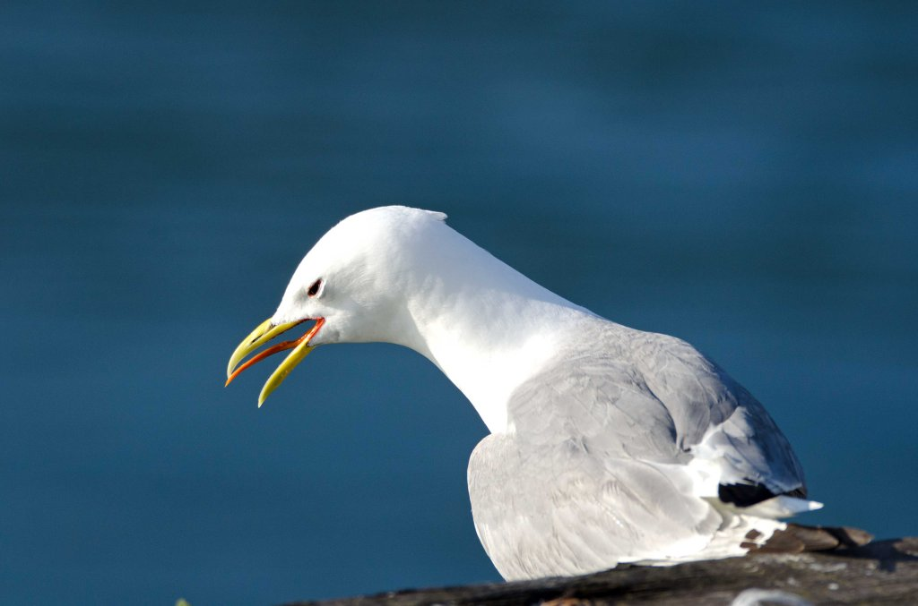 Black-legged kittiwake (Rissa tridactyla) showing tongue