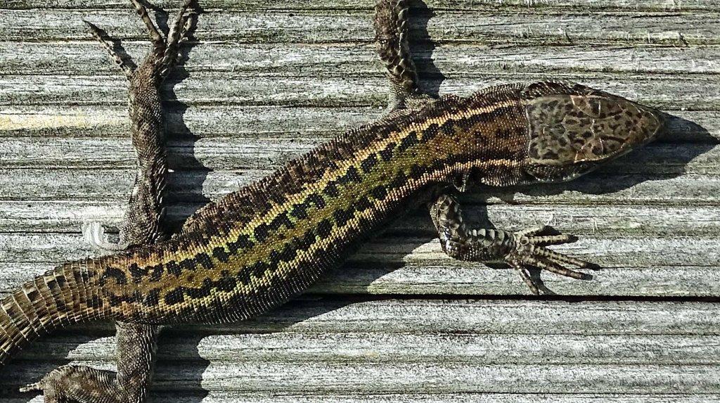 Bocage's Wall Lizard, Podarcis bocagei (male), Ria Ortigueira, Galicia