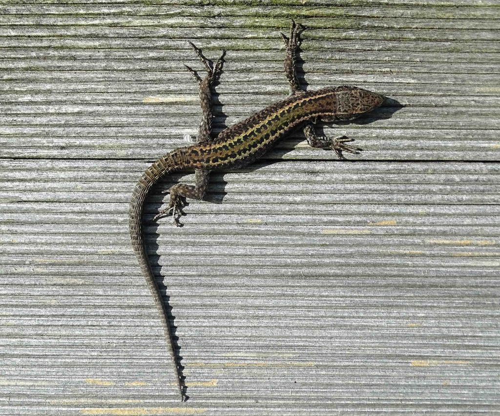 Bocage's Wall Lizard, Podarcis bocagei in Galicia (Ria Ortigueira)