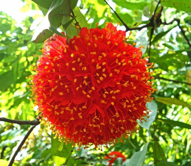 Rose of Venezuela (Brownea grandiceps) flower