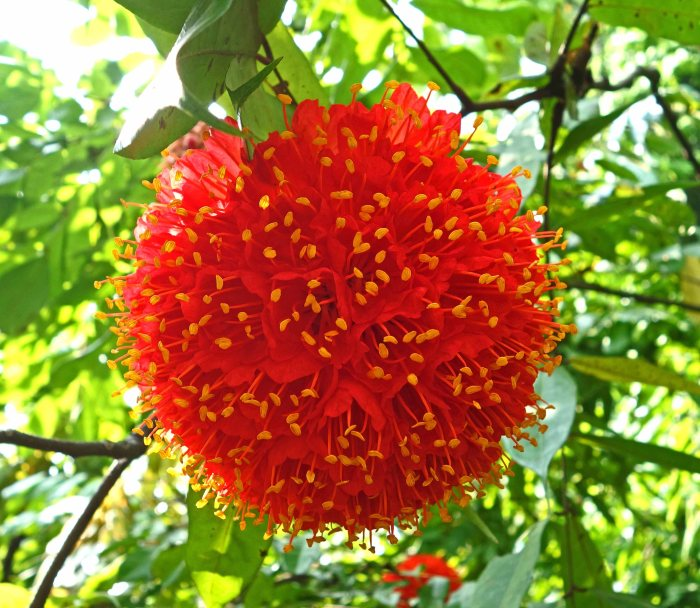 Rose of Venezuela (Brownea grandiceps) flower