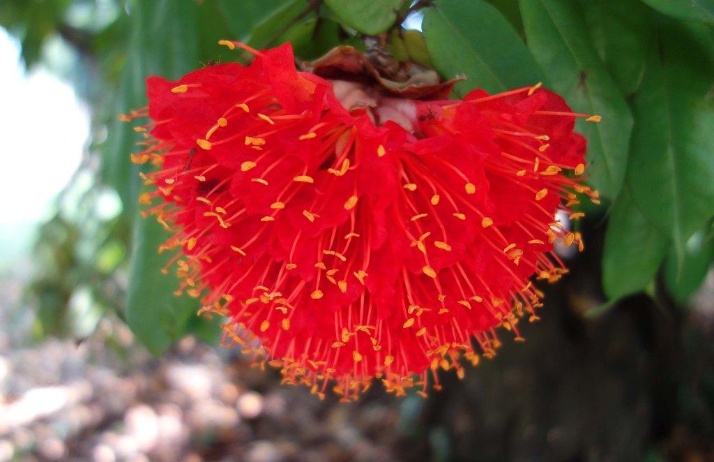 Brownea grandiceps