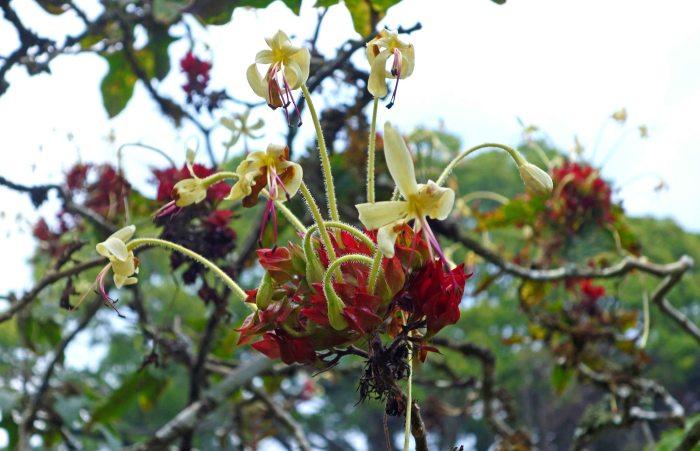 Clerodendrum hastatum (Roxb.) Lindl. flower in Cibodas Botanical Garden, Java, Indonesia