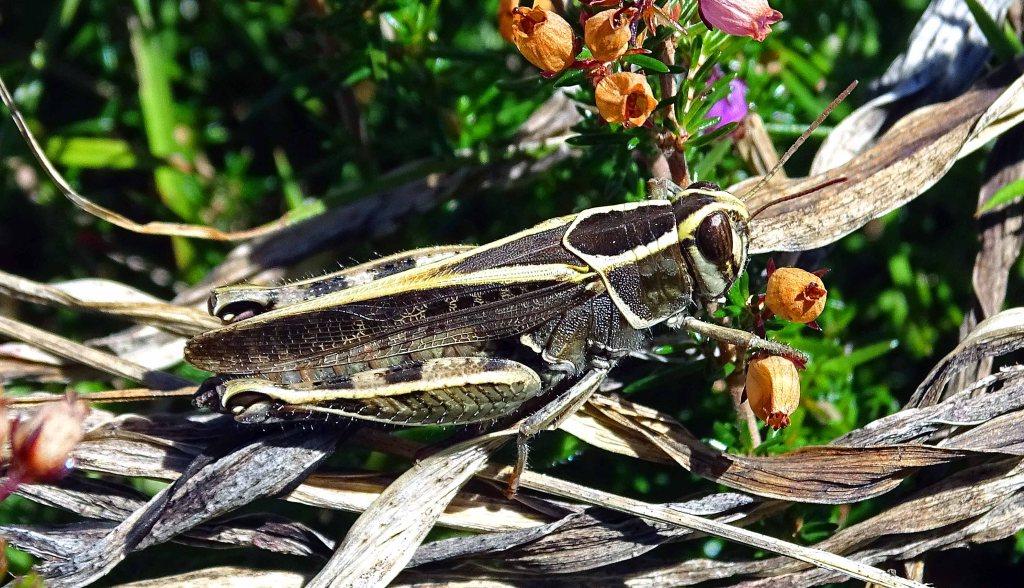 Grasshopper Calliptamus barbarus f. marginella (Costa, O.G., 1836) Galicia, Spain