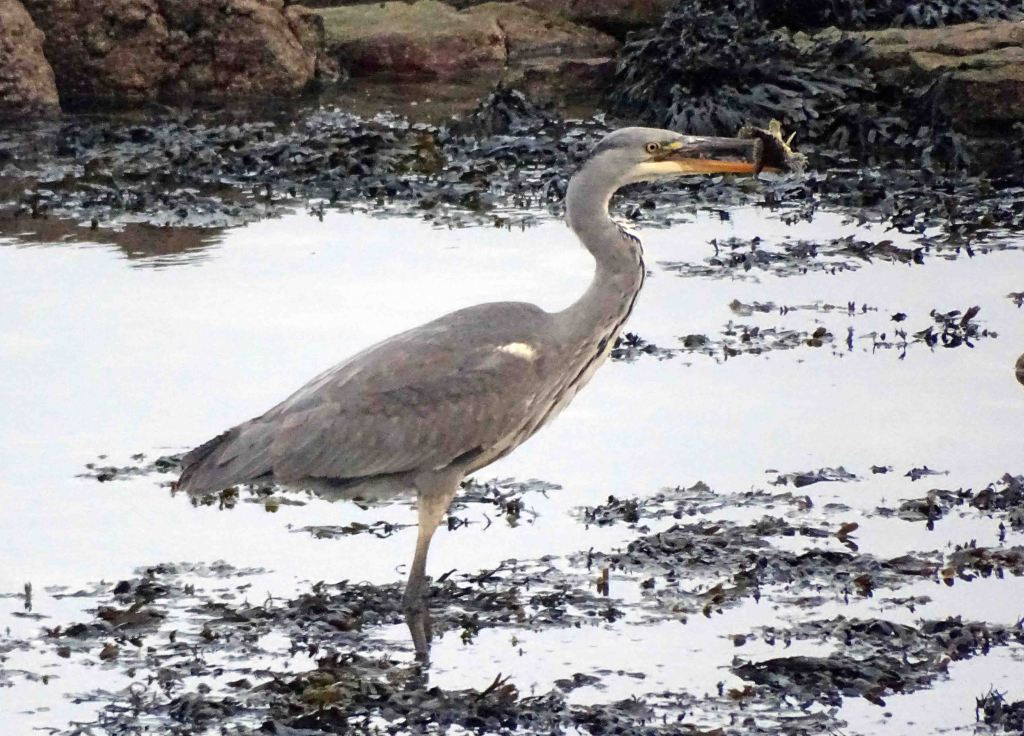 Heron with fish