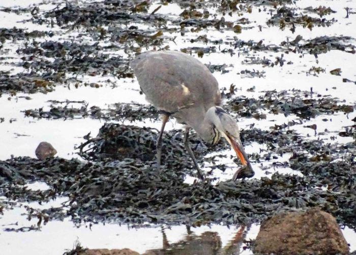 Heron with fish