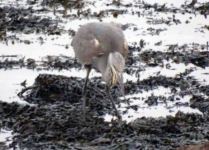 Heron looking at the fish on the seaweed