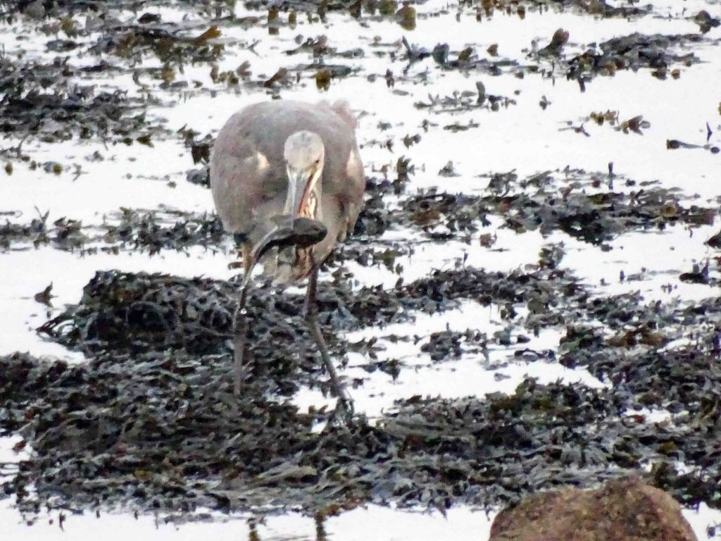 Heron grappling with a fish