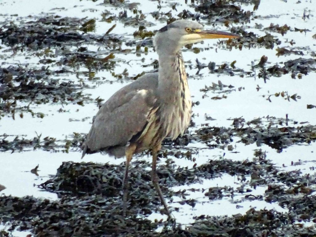 Heron, seconds after swallowing a large fish