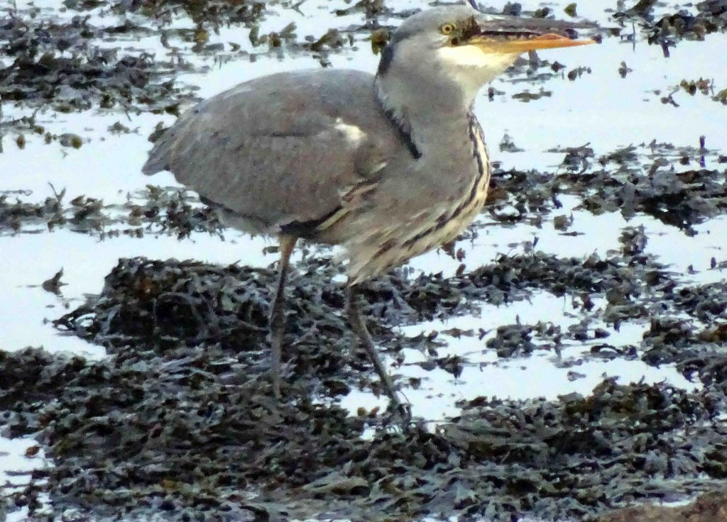 Heron swallowing fish